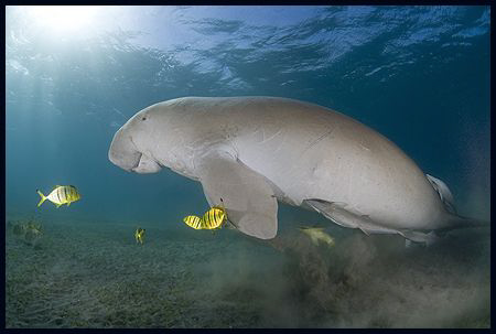 Dugong by Dejan Sarman 