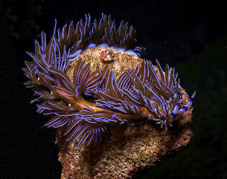Pteraeolidia ianthina, Sydney by Doug Anderson