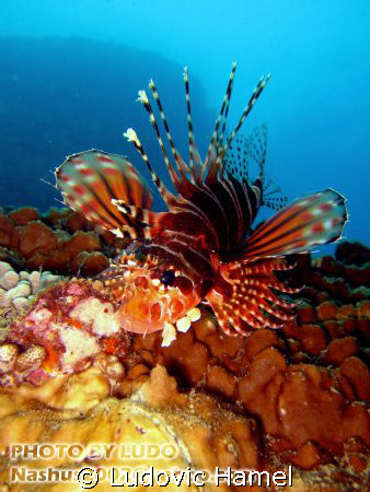 lion fish by Ludovic Hamel