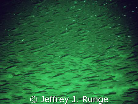 Massive school of Minnows by Jeffrey J. Runge