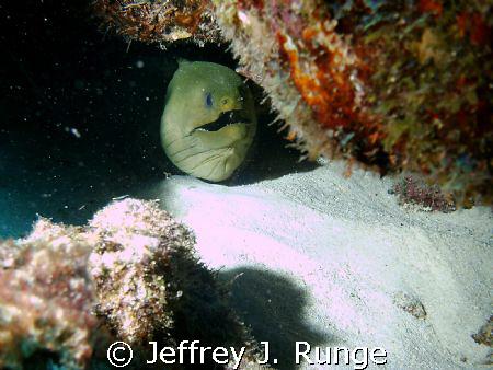 Large green moray eel hidden behind rock formation by Jeffrey J. Runge