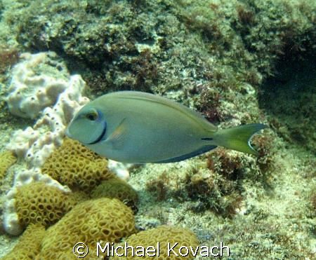 Ocean Surgeonfish on the inside reef at Lauderdale by the... by Michael Kovach