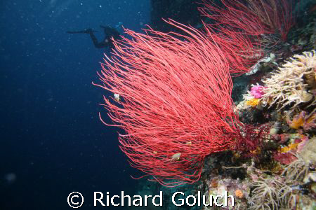 Whip corals-Palau by Richard Goluch