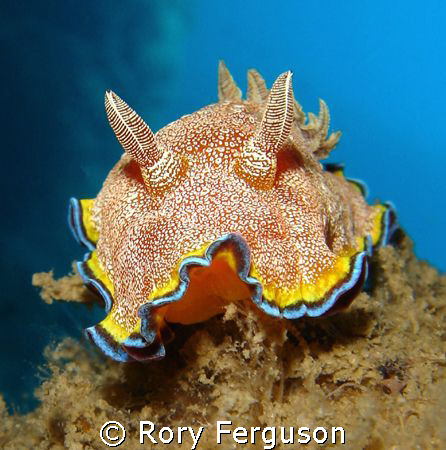 Whte-Spotted Chromodoris from Perhentian Islands. Sony T3  by Rory Ferguson
