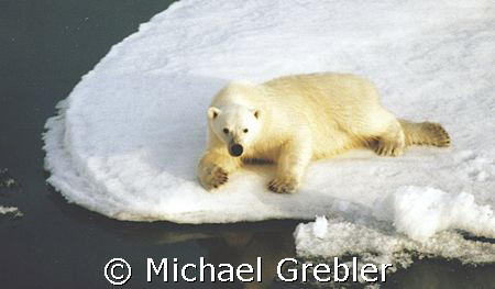 I don't know if this Polar Bear was hunting or relaxing, ... by Michael Grebler