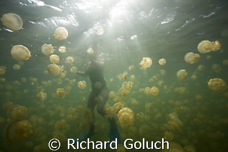Jellyfish Lake-Snorkelimg with jellyfish by Richard Goluch