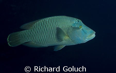 """""""Abbah"""" Napoleon Wrasse in Palau by Richard Goluch"""
