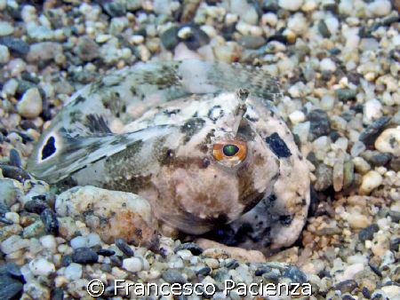 Great mimetism of Blennide fish: Bavosa by Francesco Pacienza
