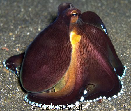 Posing Octopus in Lembeh Strait by Szilvia Gogh