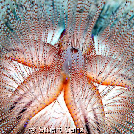 Blue-Spotted Urchin, taken on Oahu's eastern shore in 60 ... by Stuart Ganz