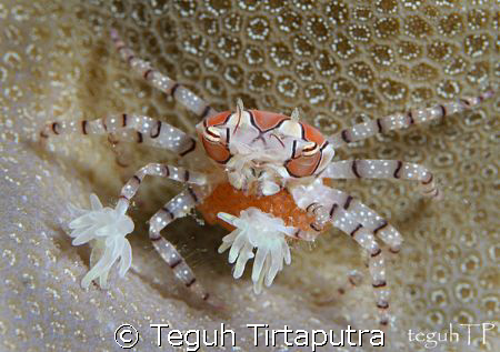 Boxer crab with her eggs... by Teguh Tirtaputra