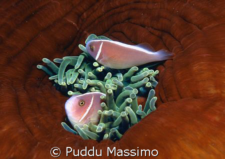 clown fishes,nikon f90x 60mm macro by Puddu Massimo