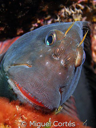 Red-lipped blenny. by Miguel Cortés