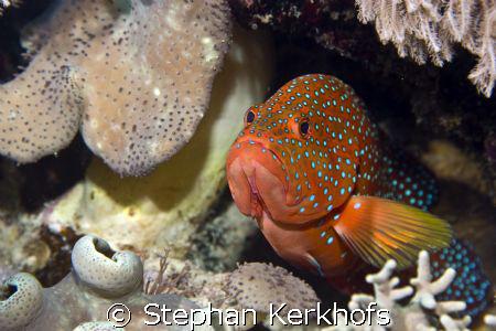 coral hind (cephalopholis miniata) taken at Na'ama Bay. by Stephan Kerkhofs