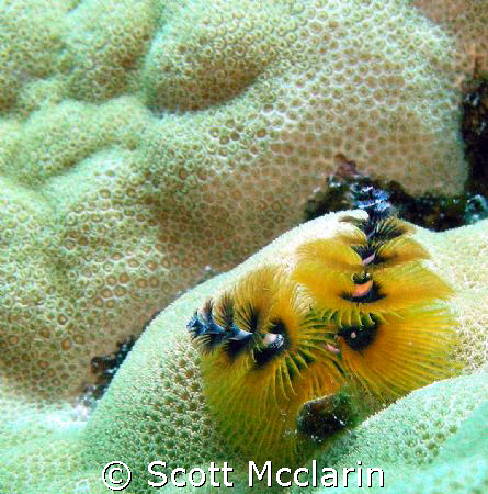 Christmass Tree worms  (Spirobranchus giganteus) captured... by Scott Mcclarin 