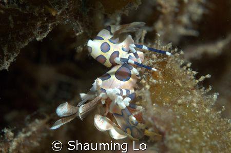 Harlequin Shrimp at Tingo. by Shauming Lo