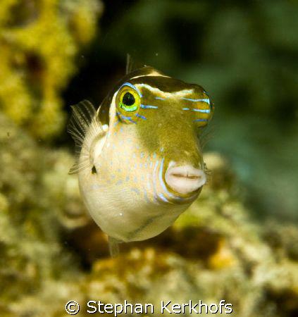 Crowned toby (canthigaster coronata) taken in Ras Kati af... by Stephan Kerkhofs