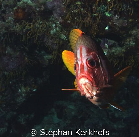 Longjawed squirrelfish (Sargocentron spiniferum) taken at... by Stephan Kerkhofs
