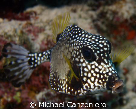 This may be a cowfish, but where do you milk this baby? by Michael Canzoniero
