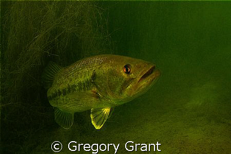 another fresh water bass ,they seem to hide in structure ... by Gregory Grant