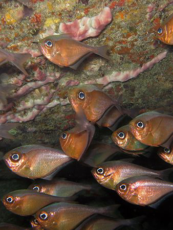 A group of Glassy Sweepers (Pempheris schomburgki) shelte... by Brian Mayes