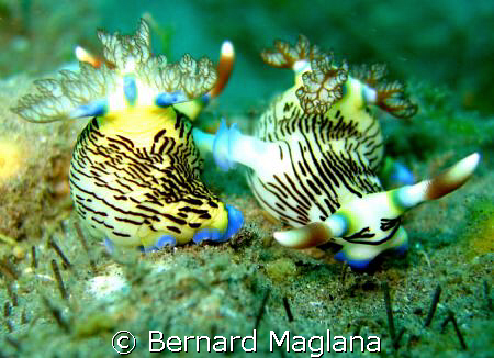 Back To Back/Its always mating season in Dauin by Bernard Maglana