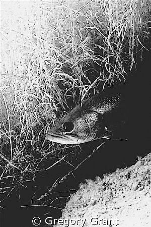 freshwater bass ,lying in ambush.south africa by Gregory Grant