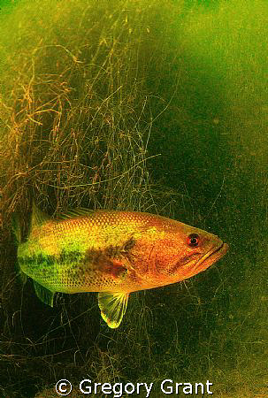 another big bad fresh water bass in south africa by Gregory Grant