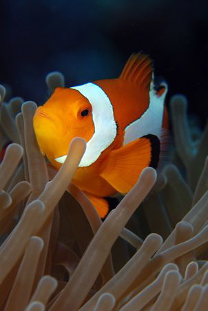 clownfish in Indonesia. by Dray Van Beeck