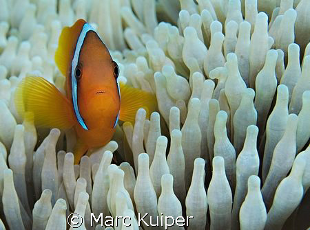 anemonefish sp. in anemone. by Marc Kuiper