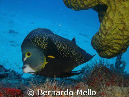 French Angel Fish by Bernardo Mello