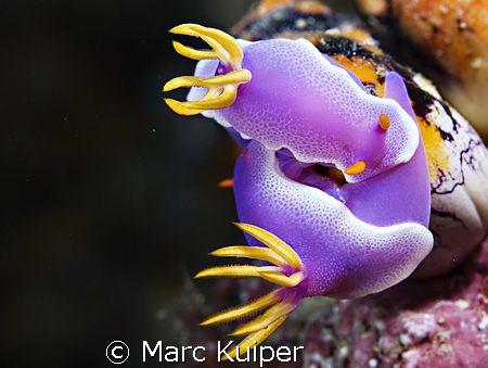 2 mating hypselodoris apolegma. by Marc Kuiper