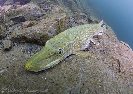 Pike. Stoney cove. D200, 10.5mm by Derek Haslam