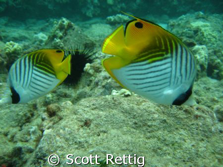 Cute Threadfin couple ! Followed us for half the dive. Maui by Scott Rettig