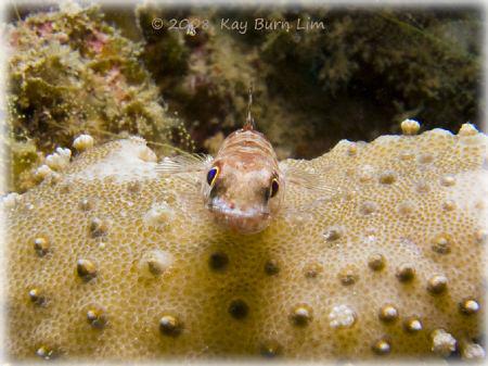 Taken with a Sea & Sea DX-1g off Kalpalai reef by Kay Burn Lim