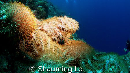 Stars Invation!this picture was taken at Basteras Reef no... by Shauming Lo