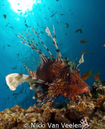 Lionfish and sunburst taken at Marsa Bareika, Ras Mohamed... by Nikki Van Veelen