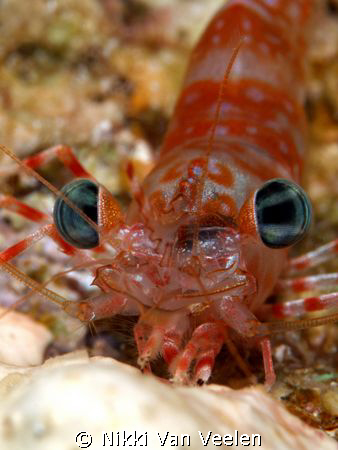 Up close and personal Green-eye dancing shrimp taken on a... by Nikki Van Veelen