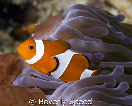 False Clown Anemonefish by Beverly Speed
