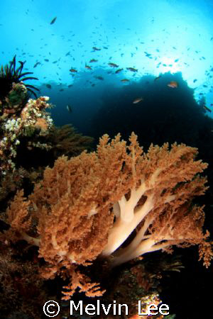 Softcoral. by Melvin Lee