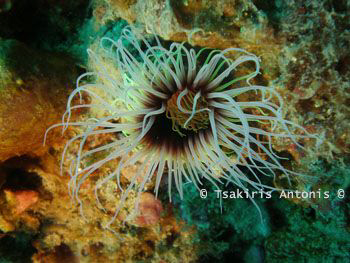 A kind of Underwater Anemone.. I Love her Colors.. :-) by Antonis Tsakiris