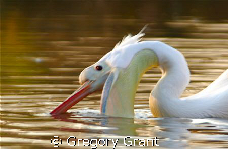 pelican feeding at dusk by Gregory Grant