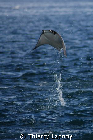 Flying Mobula over the Sea of Cortez - Cabo Pulmo - Baja ... by Thierry Lannoy