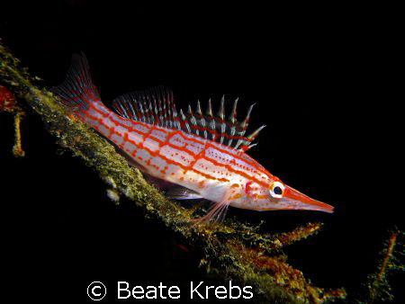 Longnose Hawkfish  taken with Canon S70 and Makro Lens on... by Beate Krebs