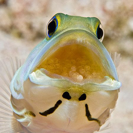 Last year I posted a jawfish with eggs that were about to... by Jim Chambers