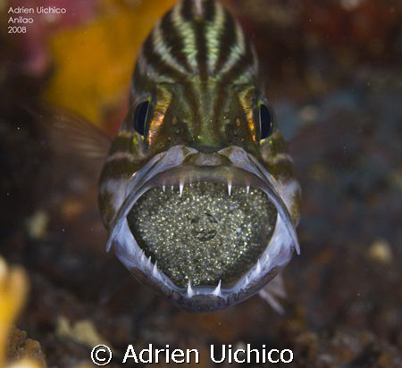 Tiger cardinalfish with eggs in the mouth by Adrien Uichico