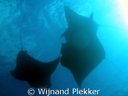 Manta Rays feeding in German Channel by Wijnand Plekker