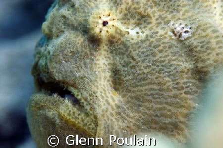 Commersons' Frogfish - This is a big fellow indeed. by Glenn Poulain
