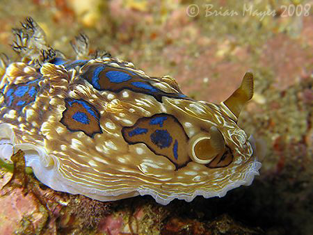 Gem Nudibranch (Dendrodoris denisoni)<><><><>Canon G9,Ino... by Brian Mayes