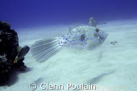 Scrawled Filefish - ~35' depth by Glenn Poulain